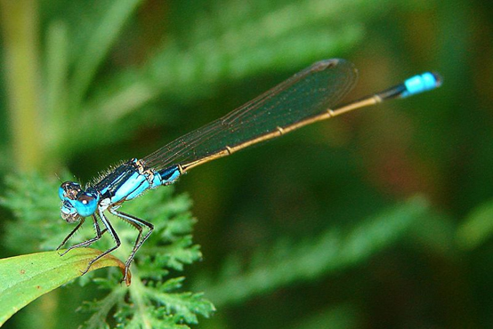 Blue Damselfly by Louise Docker